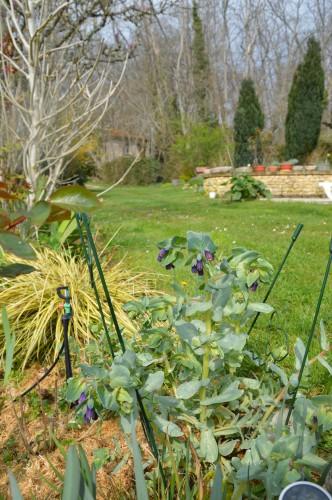 Beaumont,tulipes,primevères et autres,chez Bernadette 152.JPG