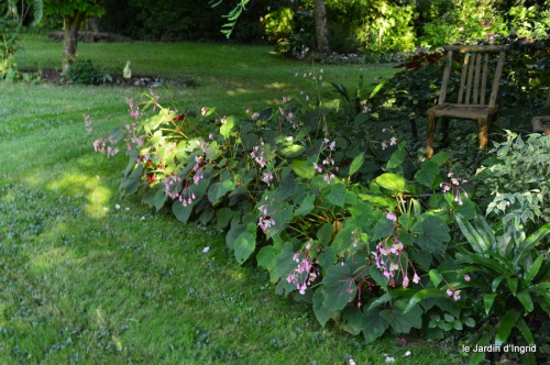 jardin,asters,fleurs blanches,chatte,rosiers roses 062.JPG