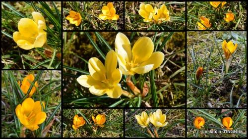 2015-02-09 tulipes,crocus ,jardin.jpg