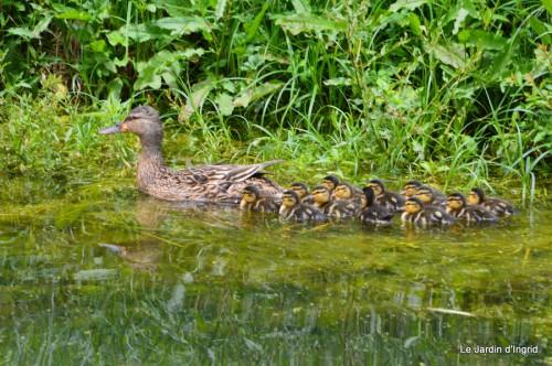 puces Lalinde,bébés canards,au moulin souci 071.JPG