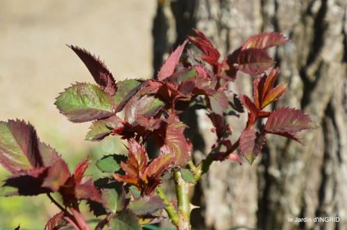 Rouge,narcisse,jardin 040.JPG