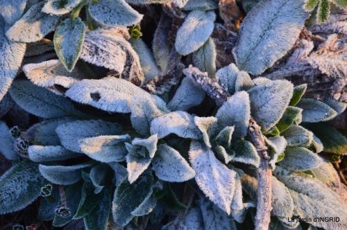 première gelée,compositions florales à garder,jardin 004-001.JPG
