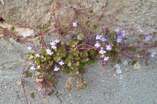 fleurs Ciron,jardin,canards,coucous,mauvaise herbe 032.JPG