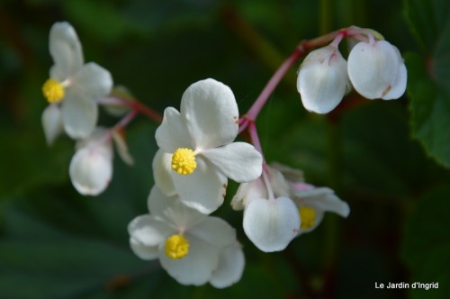 jardin,asters,fleurs blanches,chatte,rosiers roses 135.JPG