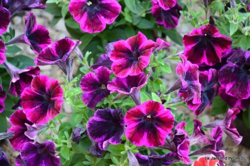 Cadouin,ancolies,roses,pollen,osier,photos Fabien,coquelicots 021.JPG