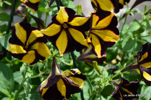 Cadouin,ancolies,roses,pollen,osier,photos Fabien,coquelicots 034.JPG