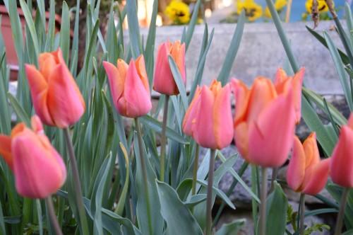 avant tonte,après,euphorbes,tulipes botaniques,autres 102.JPG