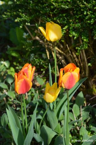 première roses,achats,jardin blanc 031.JPG