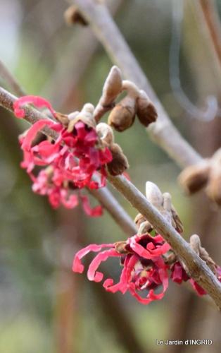 hélébores,bruyères,arbustes fleuries,mésanges 068.JPG