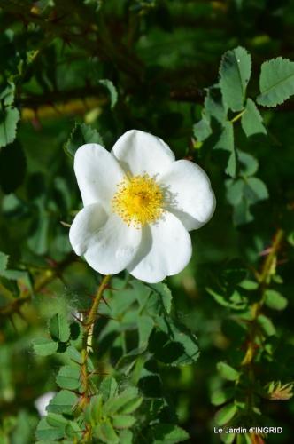 Cadouin,ancolies,roses,pollen,osier,photos Fabien,coquelicots 138.JPG