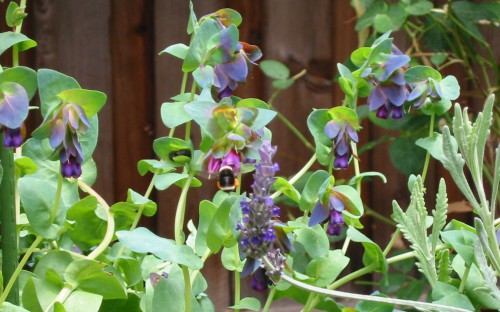Cerinthe-major-Purpurescens-with-Bee.jpg