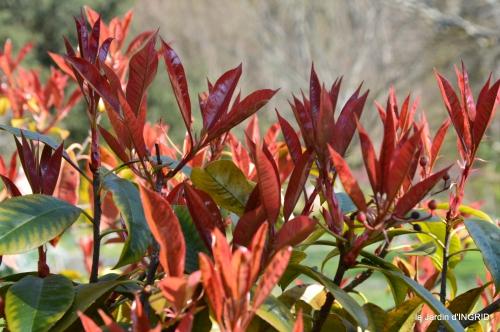 Rouge,narcisse,jardin 028.JPG
