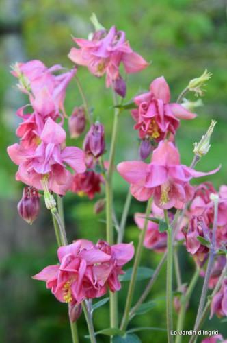 Ciron,pivoine,escargot,jardin,ancolie,glycine 188.JPG