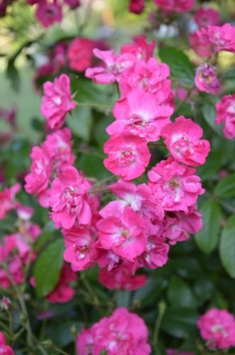 potager ,roses,jardin 017.JPG