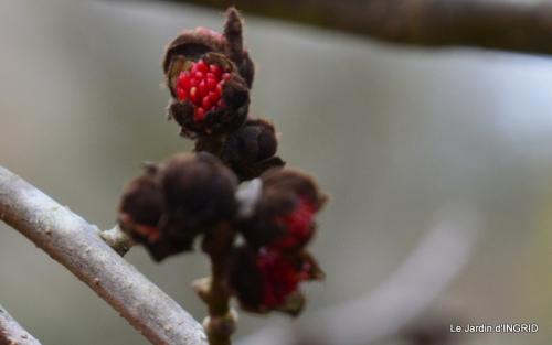 hélébores,bruyères,arbustes fleuries,mésanges 079.JPG