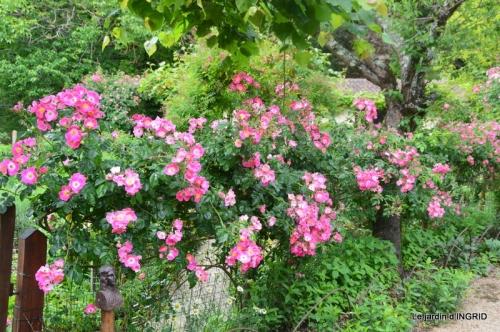 roses,poule d'eau,bébés cygnes, 060.JPG