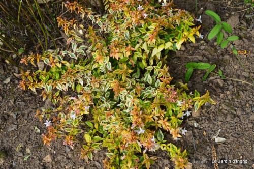 jardin,insectes,paillote,chrysanthèmes,rouge-gorge 008.JPG