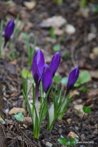 février,perces-neiges,hamamélis,paquerettes 040.JPG