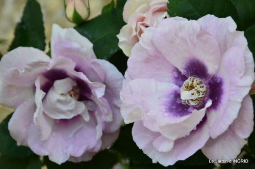 Cadouin,ancolies,roses,pollen,osier,photos Fabien,coquelicots 025.JPG