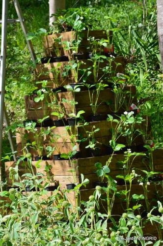 pyramide de fraisiers,toit végétalisé 004.JPG