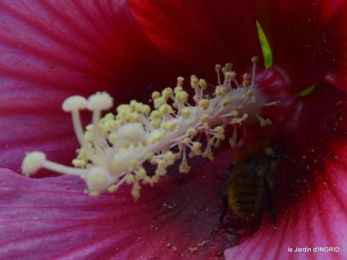 Ines,bouquet,hibiscus rose,cygnes,jardin 105.JPG