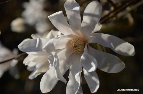 jonquilles,magnolia stellata 009.JPG