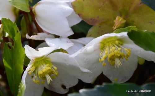 hélébores,bruyères,arbustes fleuries,mésanges 006.JPG