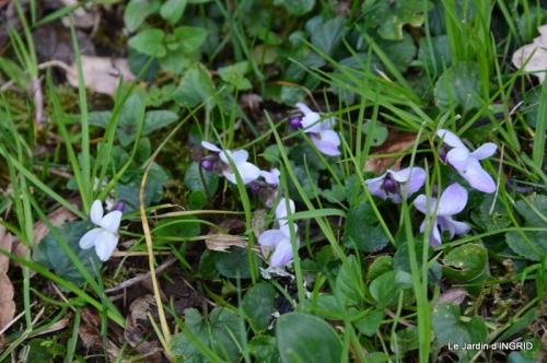 grues ,jonquilles,violettes,Nikky 035.JPG