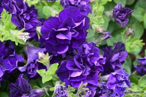 Colombier,Cadouin,jardin,roses,pluie 045.JPG