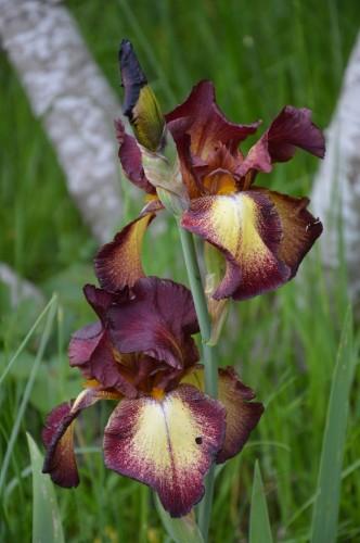 serre,iris,ancolie,iriseraie Papon,moulin 079.JPG