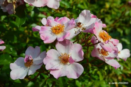 Issygeac,st Avit Seigneur,carpes kois,jardin,fleurs rouges 121.JPG