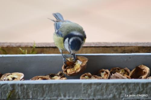 jonquilles,oiseaux avec noix,taille arbres,jardin 068.JPG