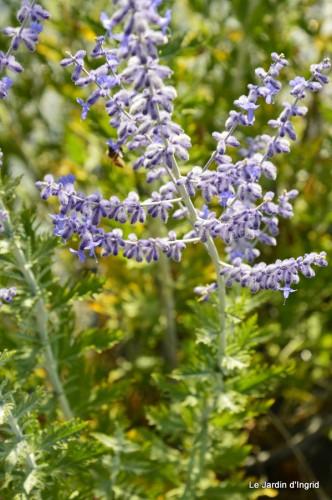 fleurs bleues,hortensia bleu,moi bébé 076.JPG