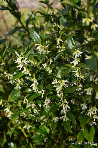 hélébores,bruyères,arbustes fleuries,mésanges 073.JPG