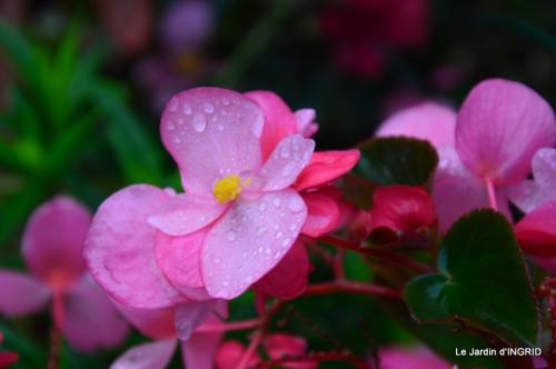 kakis,dernières fleurs,pt jardin,Julie,bassin 002.JPG