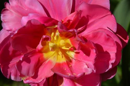 avant tonte,après,euphorbes,tulipes botaniques,autres 044.JPG