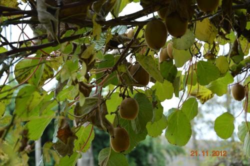 arbres,vues,kaki,kiwi,fleurettes,en fâce 029.JPG