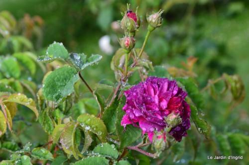 roses,Lalinde,toit cabane,pourpre,eglise,jardin tondue 007.JPG