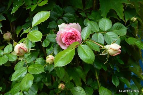 géraniums,glycine Monpazier,cabane,arums,fleurs sauvages 176.JPG