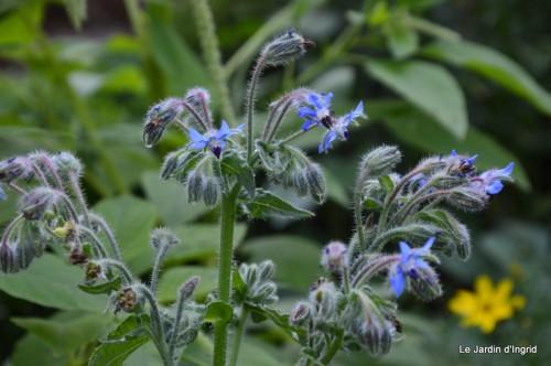 fleurs bleues,hortensia bleu,moi bébé 025.JPG