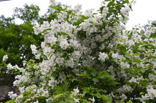 canal,fleurs blanches,marguerites,LE FLEIX,osier 040.JPG