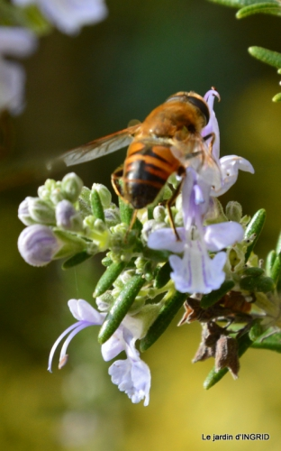 travaux,érable rouge,abeilles,Monpazier,jardin 050.JPG
