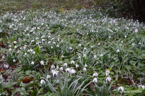 bulbes,perce neige,narcisse,pluie,hélébore,chapelle 104.jpg