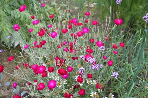 jardin,potager,roses,sauges 024.JPG