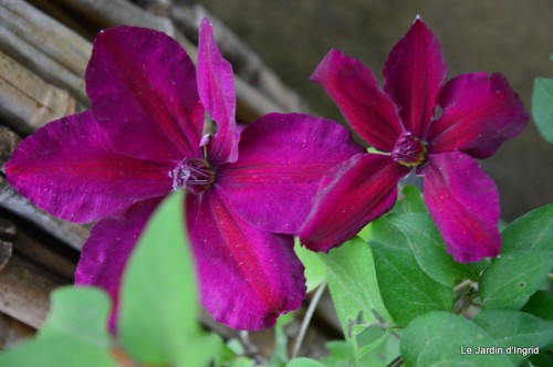 géraniums,glycine Monpazier,cabane,arums,fleurs sauvages 131.JPG
