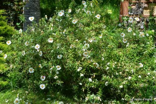 canal,fleurs blanches,marguerites,LE FLEIX,osier 165.JPG