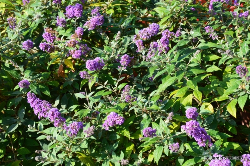 jardin Mme Perichou,grandes fleurs,bouquet,jardin 025.JPG