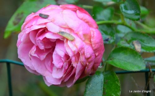 les tons roses,choux frisés,automne 031.JPG