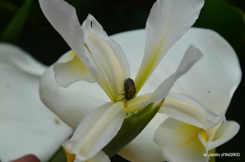 Sophie,roses,cygnes,pavots,jardin 064.JPG