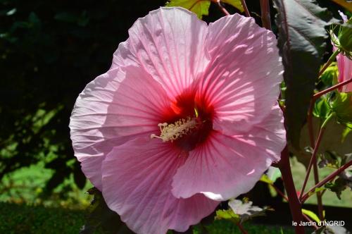 Ines,bouquet,hibiscus rose,cygnes,jardin 102.JPG